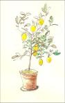Lemon Tree (Watercolor and ink)